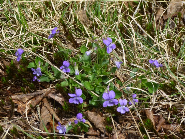 Wild Violets along the road