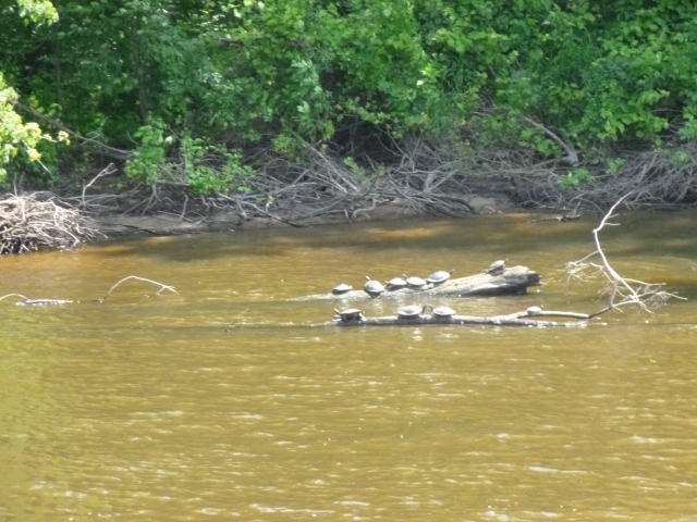 Turtles on the logs